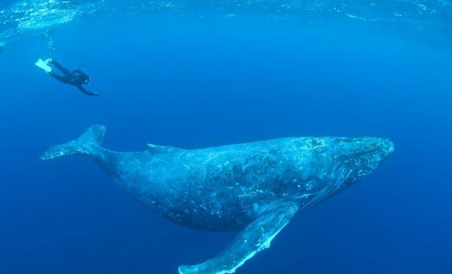 ザトウクジラ(興克樹さん撮影)