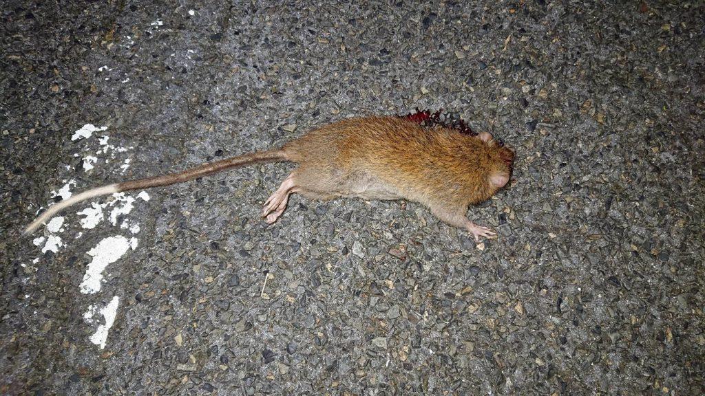 南海日日新聞:ケナガネズミの輪禍急増