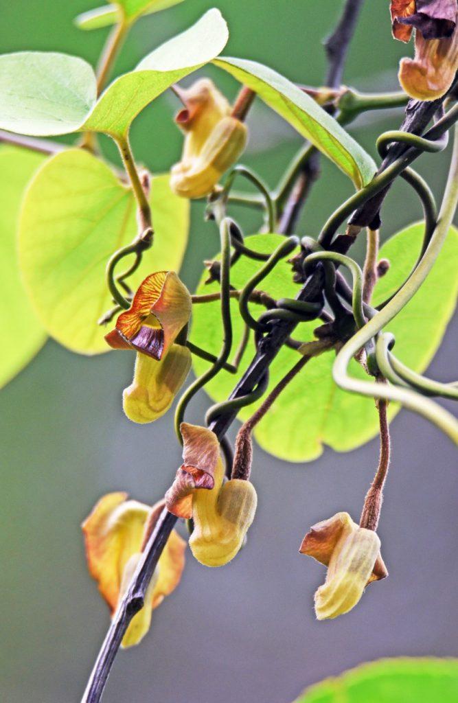 南海日日新聞/写真:開花したリュウキュウウマノスズクサ=奄美大島