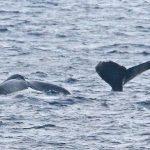 南海日日新聞〔写真〕尾びれを海面に出す2頭のザトウクジラ=22日、知名町知名の沖合(前利潔さん撮影)