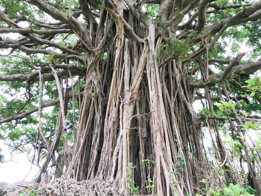 まるでジブリの世界?喜界島の神秘的な巨大ガジュマル