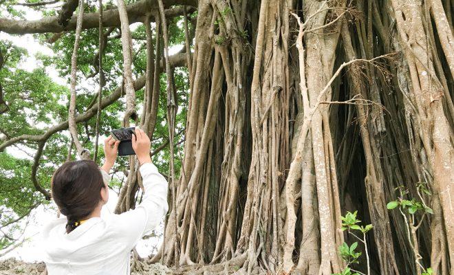 まるでジブリの世界?喜界島の神秘的な巨大ガジュマル神秘的な巨大ガジュマル