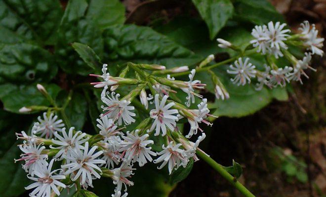 幸せくれる白い花 オキナワテイショウソウ:南海日日新聞