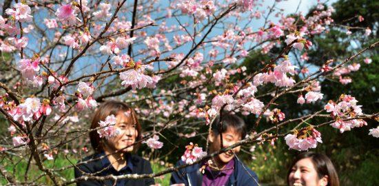愛らしい紅色の花がほころび始めたサクラ=8日、龍郷町の長雲峠