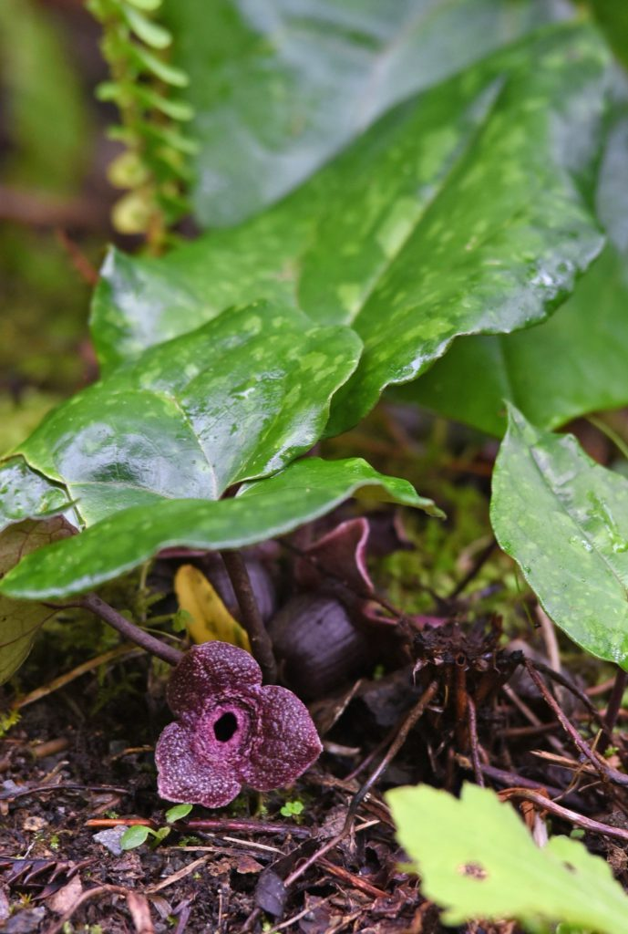 南海日日新聞〔写真〕奄美大島で春の森を彩るフジノカンアオイ
