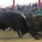 南海日日新聞〔写真〕徳之島最大の観光イベントとなっている闘牛大会