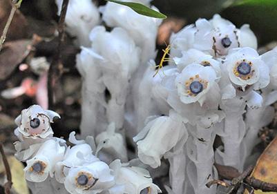 落ち葉の間からギンリョウソウ 奄美大島、春の森