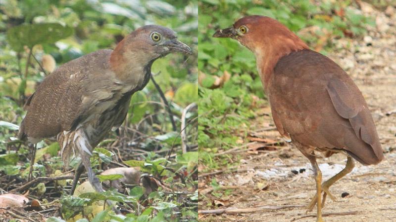 南海日日新聞〔写真〕沖永良部島で確認された(右から)ミゾゴイの成鳥=1日=と幼鳥=4日、いずれも知名町屋子母(提供写真)