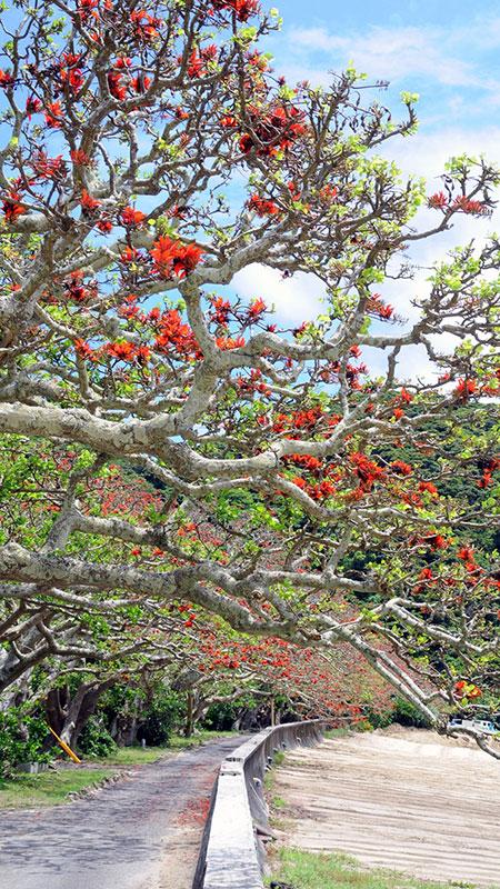 南海日日新聞〔写真〕樹勢の回復が見られる諸鈍のデイゴ並木=24日、瀬戸内町加計呂麻島