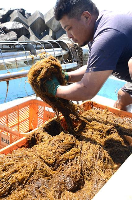 南海日日新聞〔写真〕収穫した奄美モズクを手にする関係者=14日、奄美市笠利町