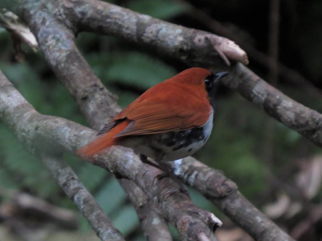 撮影:鳥飼久裕氏「アカヒゲ」美しい鳥だが、なかなか明るいところへは出てこない。
