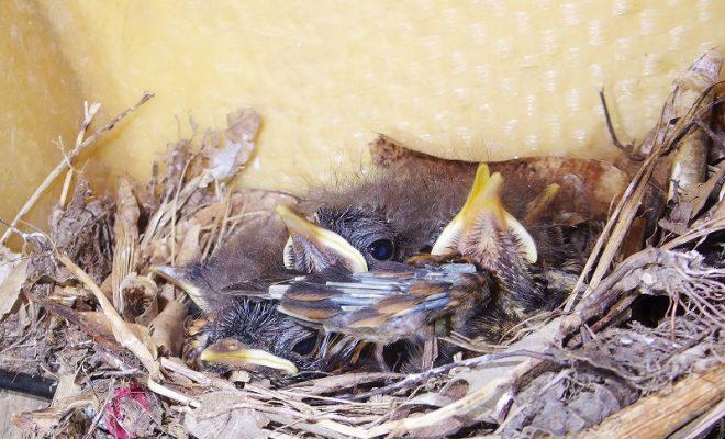 南海日日新聞〔写真〕カヤックの中の巣で、すくすくと育つアカヒゲのひなたち=1日、龍郷町芦徳(城泰夫さん撮影)