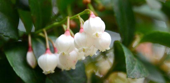 南海日日新聞〔写真〕愛らしい花を咲かせたギーマ=沖永良部島