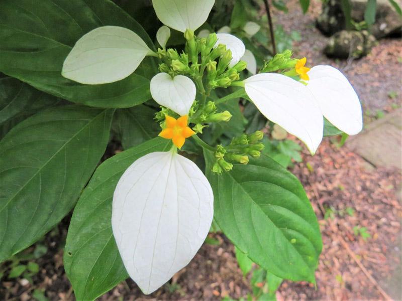 写真2:コンロンカ(写真提供:奄美自然観察の森)