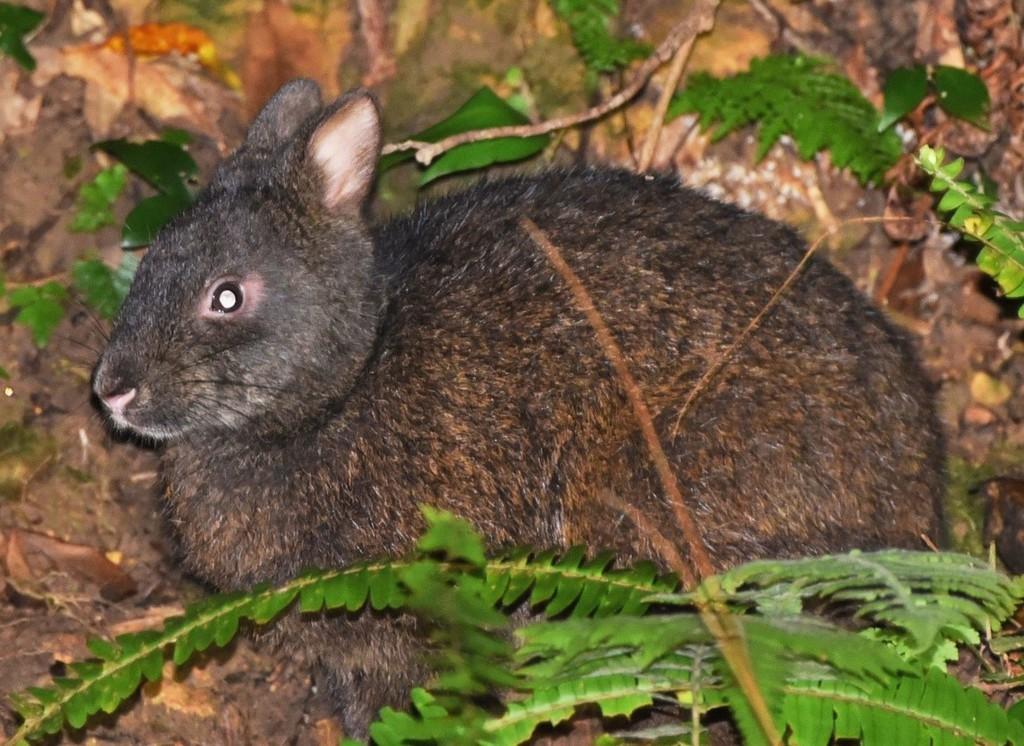 南海日日新聞:〔写真〕輪禍が増えているアマミノクロウサギ