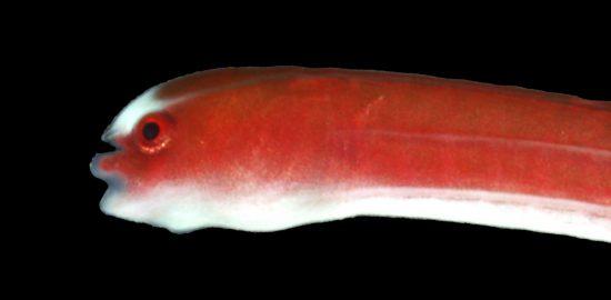 〔写真〕沖永良部島沖で見つかったシューヤジリチンヨウジウオの拡大写真(鹿児島大学総合研究博物館提供):写真説明「シューヤジリチンヨウジウオ」