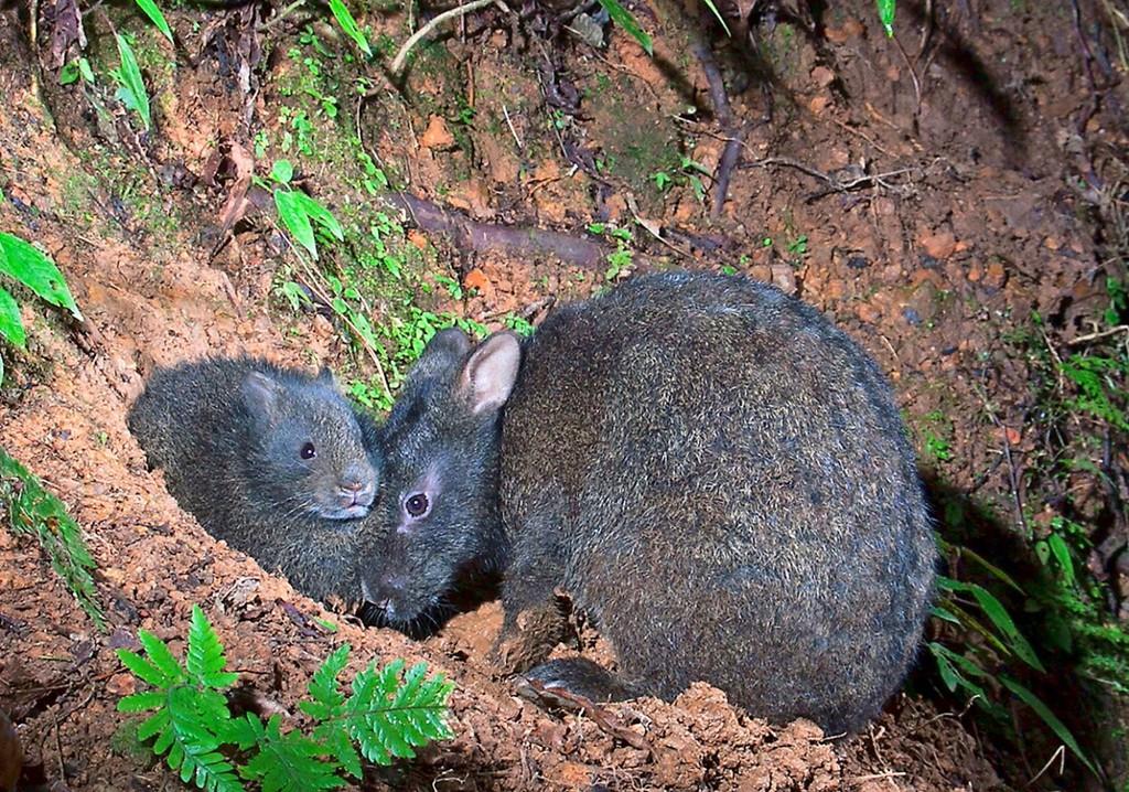 〔写真〕アマミノクロウサギの親子(浜田太さん撮影)