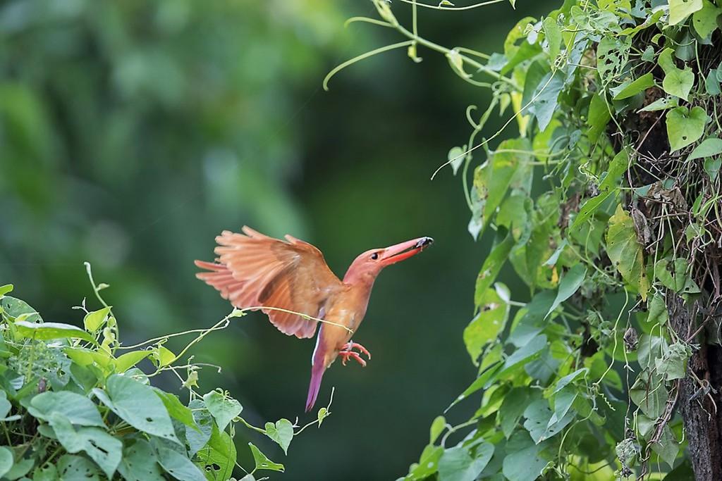 〔写真〕巣穴に餌を運ぶアカショウビン=25日午前8時ごろ、喜界町(築秀夫さん撮影
