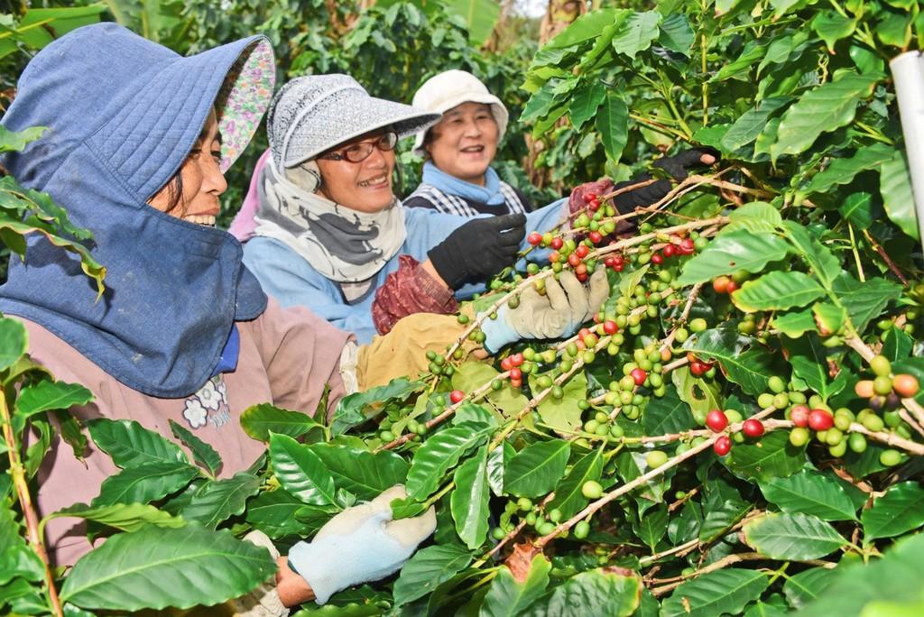 南海日日新聞南海日日新聞〔写真〕コーヒー農園で作業するスタッフら=8日、奄美市笠利町