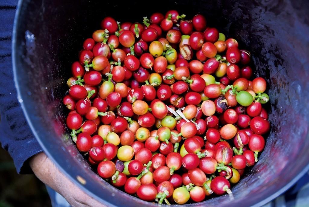 南海日日新聞南海日日新聞〔写真〕収穫したコーヒーの実=8日、奄美市笠利町